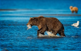 Preview wallpaper Brown bear, catch fish, river