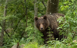 Preview wallpaper Brown bear look at you, forest, leaves