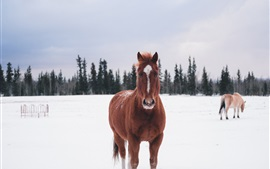 Brown horse, snow, winter