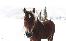 Brown horse, winter, snow