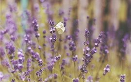 Preview wallpaper Butterfly and lavender flowers