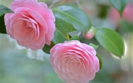 Vorschau des Hintergrundbilder Kamelie, rosa Blüten, Zärtlichkeit