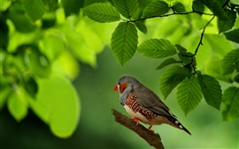 Preview wallpaper Chaffinch, bird, green leaves, Australia