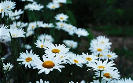 Chamomile flower field, white petals