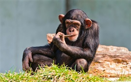 Chimp descansar