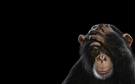 Preview wallpaper Chimpanzee, black background