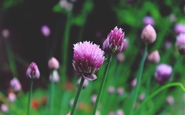 Chives chinos flores de color rosa