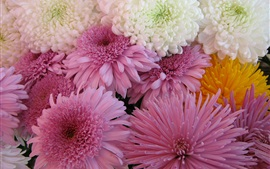 Chrysanthemums flowers, white and pink