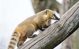 Коати ходить по стволу дерева