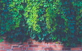 Creeper, plants, green leaves