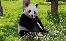 Preview wallpaper Cute panda eating bamboo