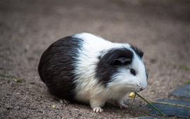 Preview wallpaper Cute pet, guinea pig