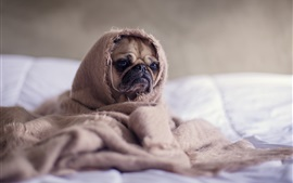 Preview wallpaper Cute pug, blanket, funny