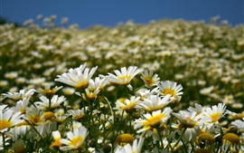 Preview wallpaper Daisies field, white flowers