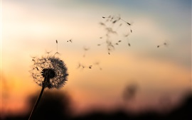 Preview wallpaper Dandelion, dusk