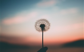 Dandelion, hand, blurry background, dusk