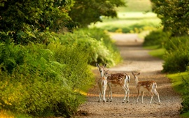 Deer family, forest, path