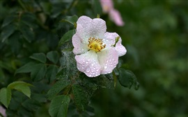 Preview wallpaper Dog rose, water drops