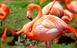 Preview wallpaper Flamingo flock