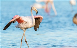 Preview wallpaper Flamingo, wings, lake, water