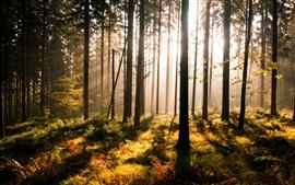 Bosque, los rayos del sol, la niebla
