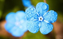 Забудьте меня, голубой цветок крупным планом, капли воды