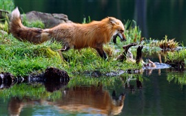 Preview wallpaper Foxes playing, water, grass