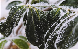 Frost leaves, snow, cold