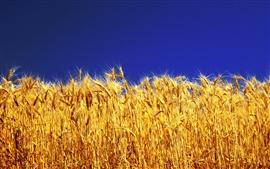 Golden trigo, cielo azul