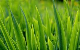 Hierba, hojas verdes primer plano, verano