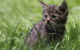 Preview wallpaper Gray kitten, lovely, grass