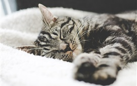 Preview wallpaper Gray striped kitten sleeping