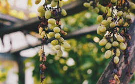 Preview wallpaper Green grapes, fruit, vine