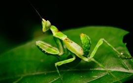 Preview wallpaper Green mantis, leaves