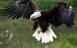 Aperçu fond d'écran Hawk vol, les ailes