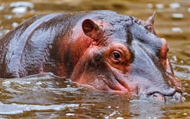 Preview wallpaper Hippo swim in water