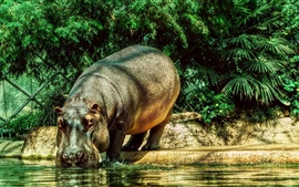 Preview wallpaper Hippopotamus drink water