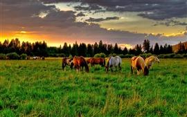 Cavalos, grama, pôr-do-sol