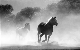 Horses running, fog, morning