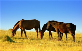 Horses walk to eat grass