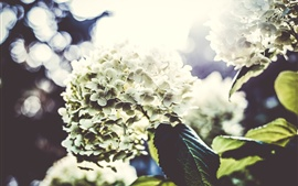 Preview wallpaper Hydrangea, flowers photography, light