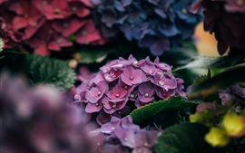 Preview wallpaper Hydrangea flowers, pink petals close-up