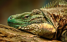 Iguana, la cara, los ojos, el descanso