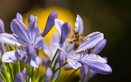 Preview wallpaper Insect, bee, blue orchid