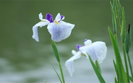 Iris flowers after rain, water drops