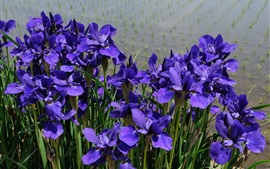 Preview wallpaper Irises blue flowers