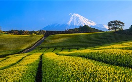 Preview wallpaper Japan, Fuji Mountain, tea plantation