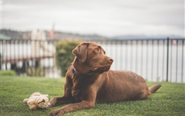 Preview wallpaper Labrador dog, brown color, grass, rest