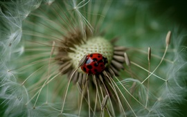Preview wallpaper Ladybug, dandelion, macro