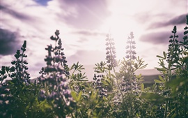 Lupines field, stems, leaves, sunlight